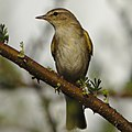 Willow warbler, Phylloscopus trochilus, at Marakele National Park, Limpopo, South Africa (45938433354).jpg