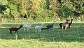 Wiltshire-30-Alpakas-2004-gje.jpg