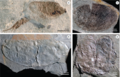 Winneshiek Shale bivalved arthropods.png