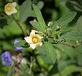 Wireweed (Sida rhombifolia) cr (1)b (38381119104).jpg