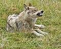 Wolf Snarl (5300989527).jpg