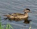 Wood Duck, female.jpg