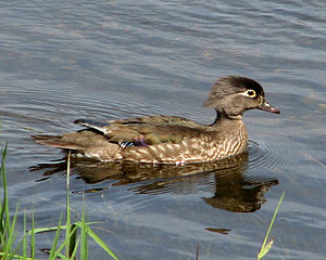 Wood Duck, female.jpg
