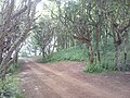 Woods Above Seacliff beach entrance today.jpg