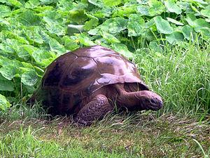 Jonathan (tortoise) - Jonathan in September 2014