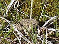 Wyoming toad in nature.jpg