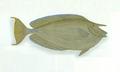 XRF-Naso unicornis.png