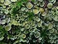 Xanthoria parietina (Teloschistaceae), Arnhem, the Netherlands - 2.jpg