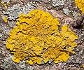 Xanthoria parietina 123967738.jpg