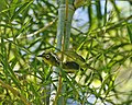 Yellow-bellied White-eye (Zosterops chloris) Q0S7000 - Flickr - Lip Kee.jpg