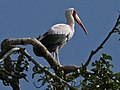 Yellow-billed Stork RWD.jpg