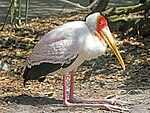 Yellow-billed Stork RWD5.jpg