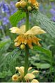 Yellow Archangel 02.jpg
