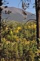 Yellow Aspen (3972268892).jpg