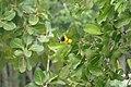 Yellow Oreole (Sunderbans Safari) (38271226356).jpg