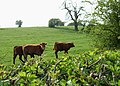 Young cattle on Stafford Common. - geograph.org.uk - 1258714.jpg
