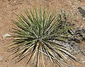 Yucca glauca (soapweed yucca) (Red Canyon overlook, Colorado National Monument, Colorado, USA) 4 (23879497052).jpg