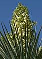 Yucca rigida 2.jpg