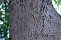 ZIMG 2627-Notholithocarpus densiflorus.jpg