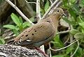Zenaida Dove. Zenaida aurita - Flickr - gailhampshire.jpg