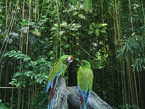 Two Macaws