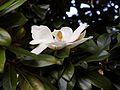 'Goliath' Magnolia grandiflora flower at Goodnestone Park Kent England 2.jpg