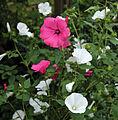 'Lavatera trimestris' Clavering Essex England 3.jpg