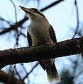 (1)Centennial Park kookaburra-97.jpg