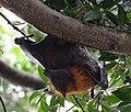 (1)Flying Fox 118.jpg