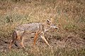(Carnivora Canidae) Canis anthus, Afrikansk guldvarg African golden wolf (47231943471).jpg