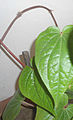 (piper betle) Betel leaf at Bandlaguda 01.jpg