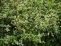 ¿ Berberis lycium ? (7865066588).jpg
