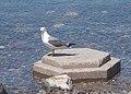 Амурский залив Владивостока, чайка.JPG