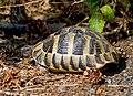 Балканская черепаха - Testudo hermanni - Hermann's tortoise - Шипоопашата костенурка - Griechische Landschildkrote (36040548841).jpg