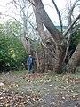 Большое дерево у берегов Эгейского моря-03.JPG