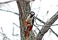 Большой пёстрый дятел - Dendrocopos major - Great spotted woodpecker - Голям пъстър кълвач - Buntspecht (25289007570).jpg