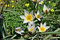 Двухцветковые степные тюльпаны.jpg
