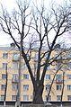 Дуб Корольова, Київ.jpg