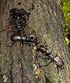 Жуки-олені розмноження та годівля 11.jpg
