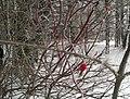 Зимние яблоки. Лес около д. Нарат-Елга. Чистопольский р-н. РТ. Декабрь 2014 - panoramio.jpg