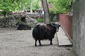 Київський зоопарк Яки.jpg