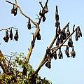 Летучие мыши, Mawanella, Sri Lanka - panoramio.jpg