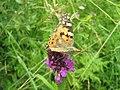 Орхидея и панаска детелина 23.jpg