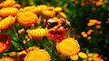 Пчёлка-труженица.JPG