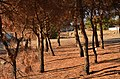 Севастопольский лес (Турбаза Севастополь).jpg