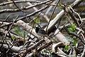 Скелі Довбуша Плиска біла DSC 0569.jpg