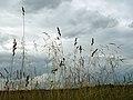 Травяные заросли - panoramio.jpg