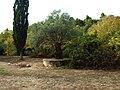 Хиландар - Маслина коју је посадио Цар Душан (1347.г.) - panoramio.jpg
