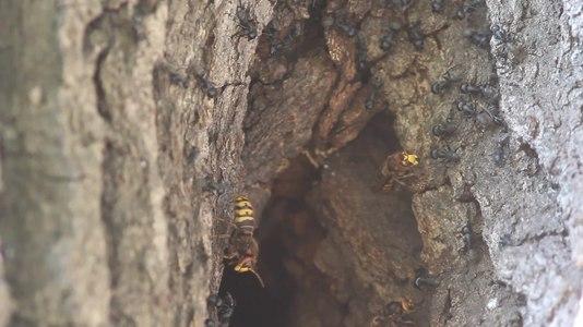 File:Шершні проти мурах.webm