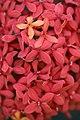 ดอกเข็ม ( Ixora stricta Roxb ) RUBIACEAE (8).jpg